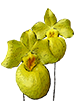 Paphiopedilum In-Charm Greenery 'In-Charm' x Paphiopedilum In-Charm White 'Tai Min'