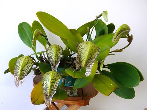 Bulbophyllum Hsinying Grand-arfa