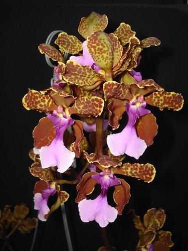 Oncidium lanceanum x kramerianum