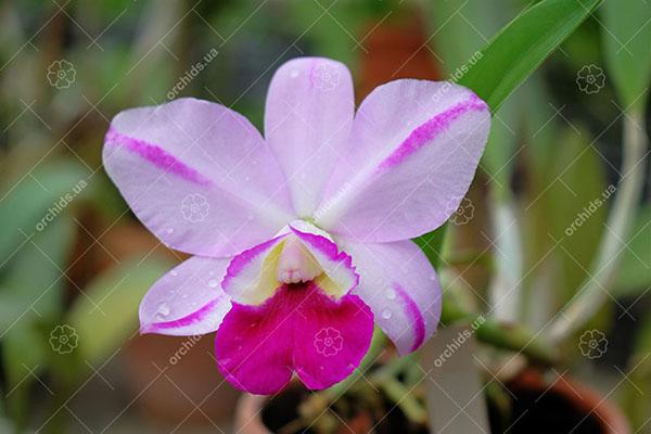 Laeliocattleya Mona Pink 'Hiromi' (Lc. Pri Pri x L. Mini Purple)