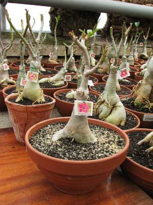 Adenium Diamond Dust
