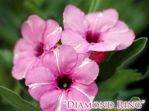 Adenium Diamond Ring