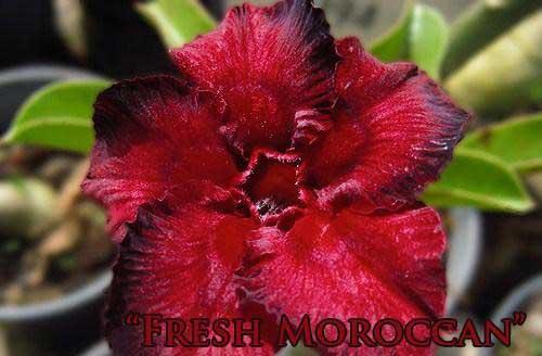 Adenium Fresh Moroccan