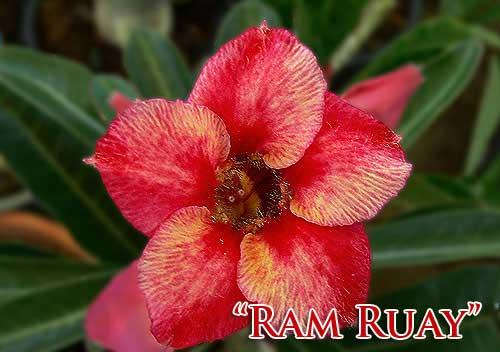 Adenium Ram Ruay