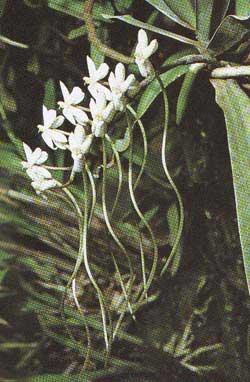 Aerangis coriacea