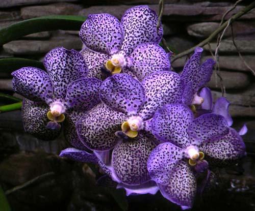 Ascocenda Kulwadee Fragrance 'Blue Spot'