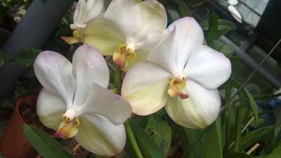 Ascocenda Oriental Siberian White