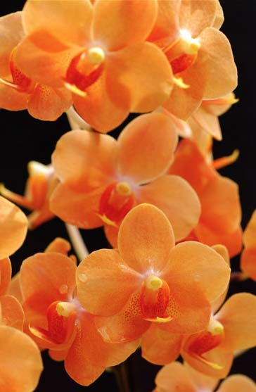 Asconopsis Irene Dobkin 'Orange'