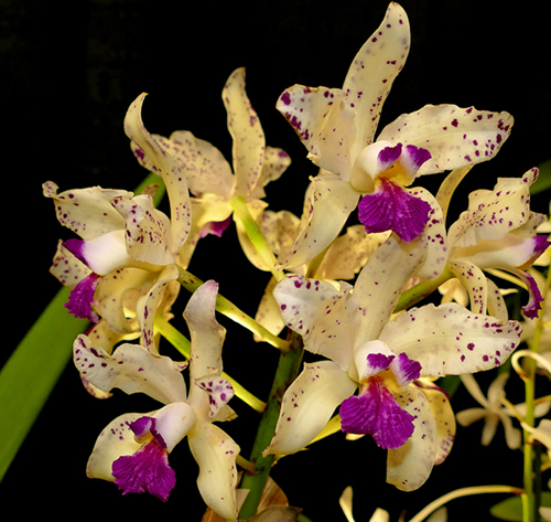 Cattleya amethystoglossa palha 'Gloriosa' x Cattleya amethystoglossa 'Palhina'