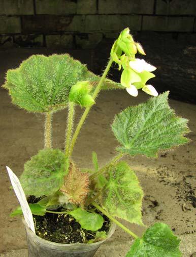 Begonia rex hybrid