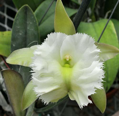 Brassavola Aristocrat (Brassavola glauca x digbyana)
