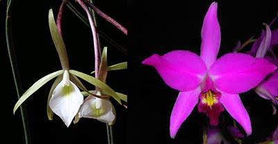Brassavola fragrans x Laelia anceps
