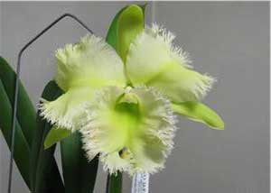 Brassocattleya Golf Green