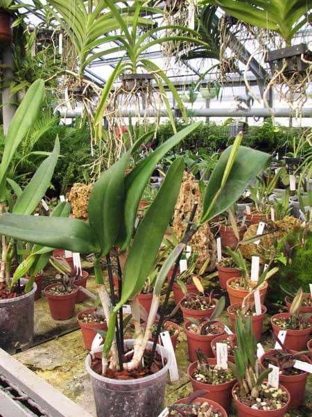 Brassocattleya Tokyo (Rhyncholaelia digbyana x Cattleya Dupreana)