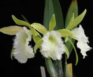 Brassoepidendrum Jim Wallace 'Leo'