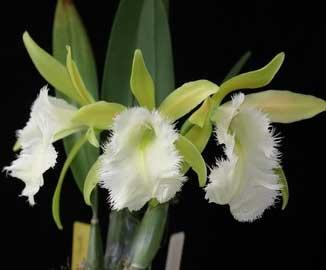 Brassoepidendrum Jim Wallace 'Leo' (Psh. mariae x B. digbyana)