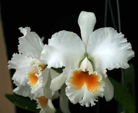 Brassolaeliocattleya Eagle Eye 'All Victory'