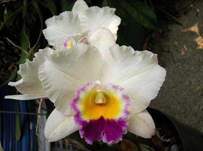 Brassolaeliocattleya Hsinying Catherine 'Hakucho'