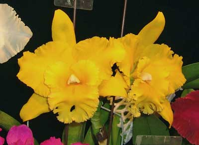 Brassolaeliocattleya Hsinying Chaffinch 'BD'