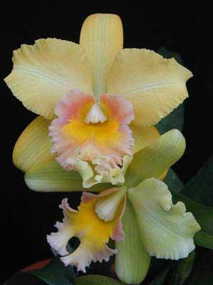 Brassolaeliocattleya Malworth 'Orchidglade'