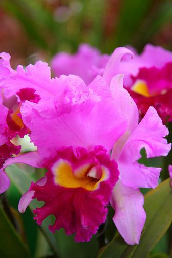 Brassolaeliocattleya Royal Oaks