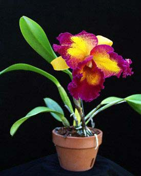Brassolaeliocattleya Taiwan Queen 'Golden Monkey'