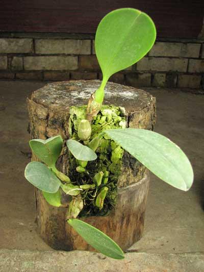 Bulbophyllum longisepalum