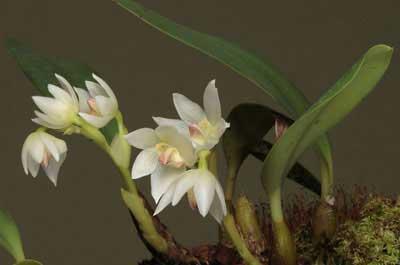 Bulbophyllum santosii