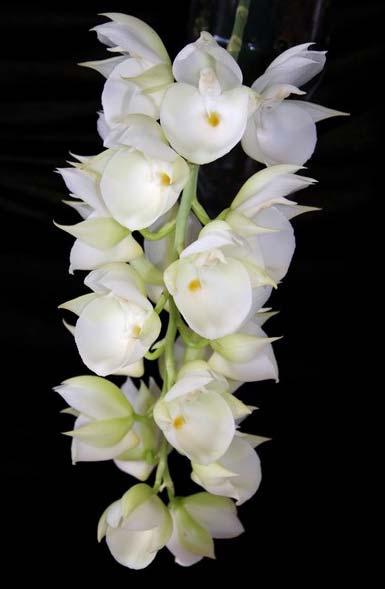 Catasetum pileatum (albo x albo)