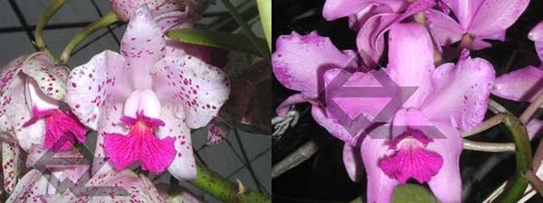 Cattleya amethystoglossa 'FPA-E' x Cattleya amethystoglossa rubra