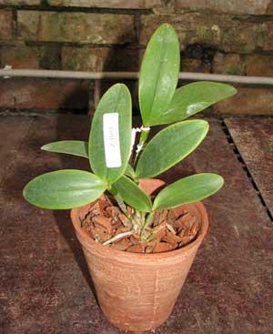 Cattleya amethystoglossa rubra 'Cardeal' x SEL