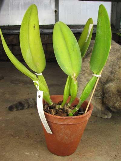 Cattleya gaskelliana coerulea 'Aida'