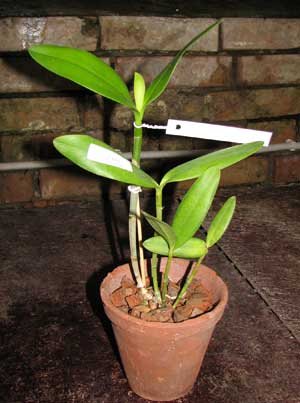 Cattleya harrisoniana alba 'Maraja' x Cattleya harrisoniana trilabelo