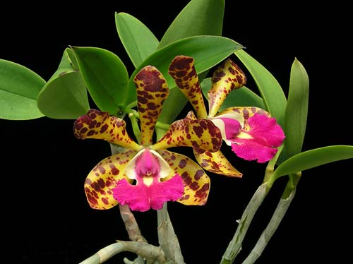 Cattleya Jungle Eyes 'ORCHIS'