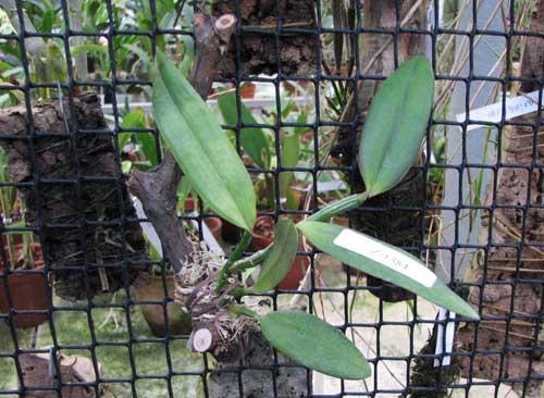 Cattleya kerrii 'Itapebí' x Cattleya kerrii 'Bahia'