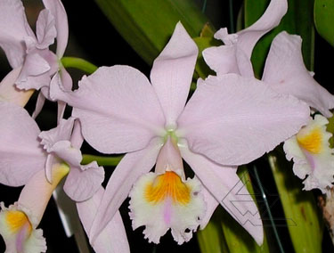 Cattleya labiata amesiana concolor 'Serra Negra' x Cattleya labiata amesiana 'Angel' (Z-43)