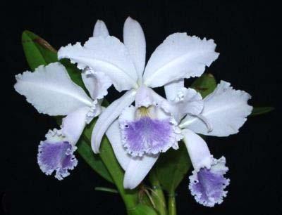 Cattleya labiata coerulea 'Filha de Junior' x Cattleya labiata coerulea 'Filha de Panelas'