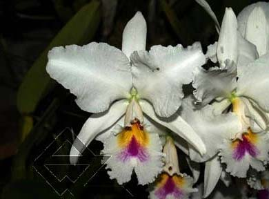 Cattleya labiata semi alba 'Aiko' x Cattleya labiata semi alba 'Magnifica' (Z-12)