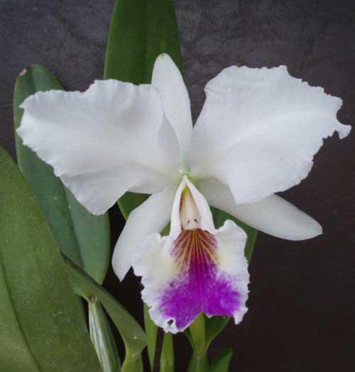 Cattleya labiata semi alba 'Garganta Escura' x Cattleya labiata semi alba ('Cooksoniae' x 'Gloriosa')