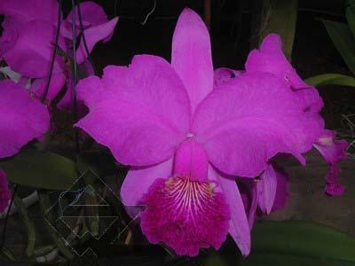 Cattleya lueddemanniana tipo 'Pinky' x Cattleya lueddemanniana rubra 'Gesia'