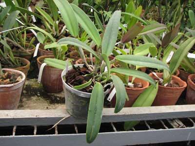 Cattleya maxima 'Selection Dunkel'