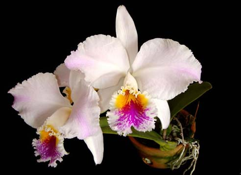 Cattleya mossiae s/a 'Young's Variety' x Cattleya mossiae s/a 'Blanca'