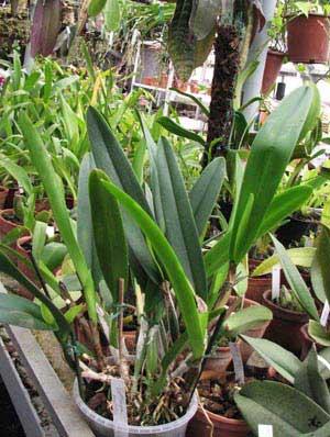 Cattleya mossiae var. wagneri