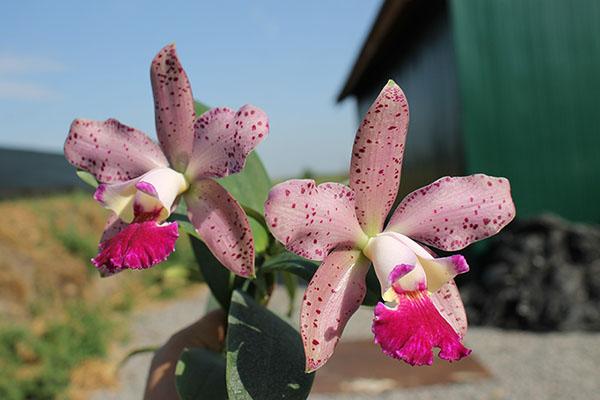 Cattleya (Penny Kuroda x Corcovado)