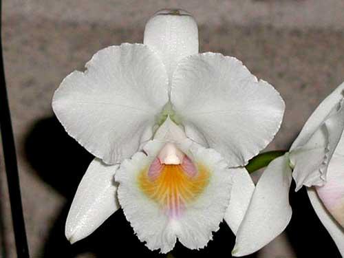 Cattleya quadricolor alba x Cattleya quadricolor suavissima