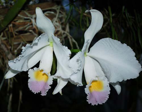 Cattleya trianae amoena 'Maria Ines' x Cattleya trianae amoena 'President Geisel'