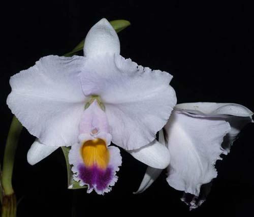 Cattleya trianae coerulea x SELF