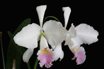 Cattleya trianae f. amesiana 'Goliath'