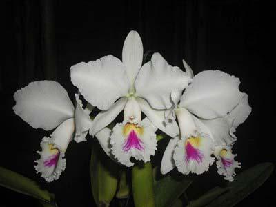 Cattleya trianae semi alba 'Rinaldi' x SELF