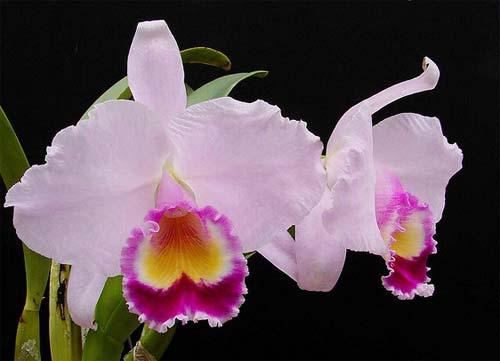 Cattleya trianae tipo 'Binotti' x Cattleya trianae orlata 'Dan'